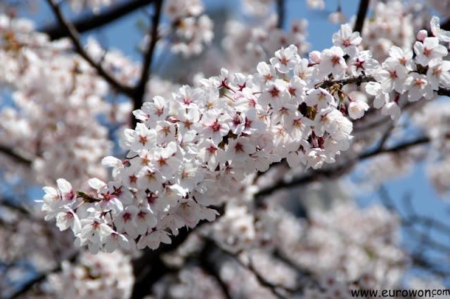 Flores de cerezo en Seúl
