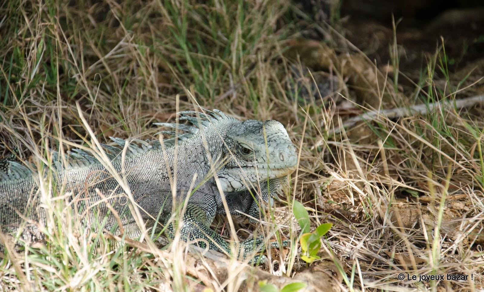Guadeloupe - Les Saintes - Terre de Haut - iguane