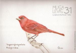MUSA LEVIS 31