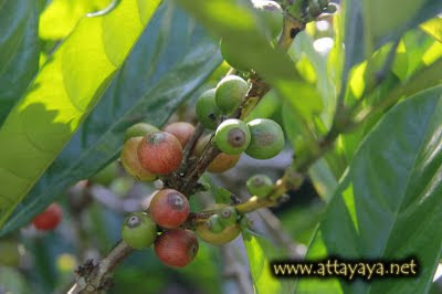 civet coffee powder, civet coffee beans, civet coffee arabica, coffee tree