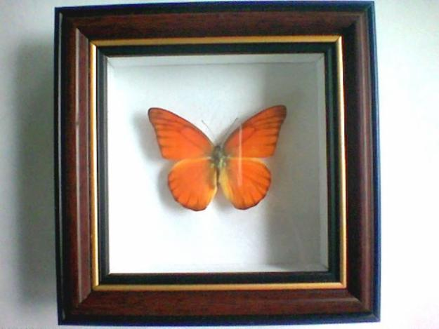 FRAMED PRESERVED BUTTERFLIES For Sale
