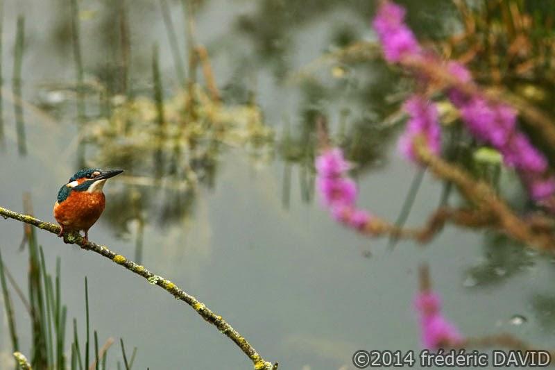 animaux oiseaux martin pêcheur Champmorin Seine-et-Marne