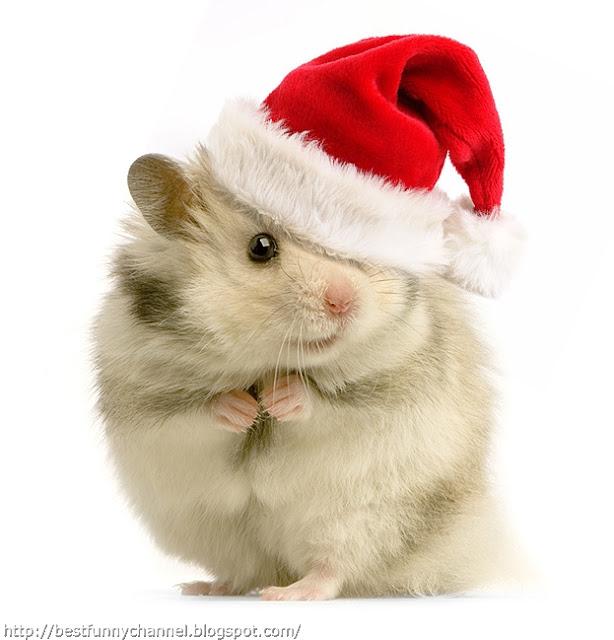 Very funny Christmas Hamster.
