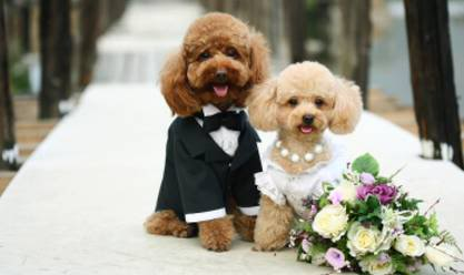 Butters the Fashion Dog: A Look Back: Royal Canine Weddings