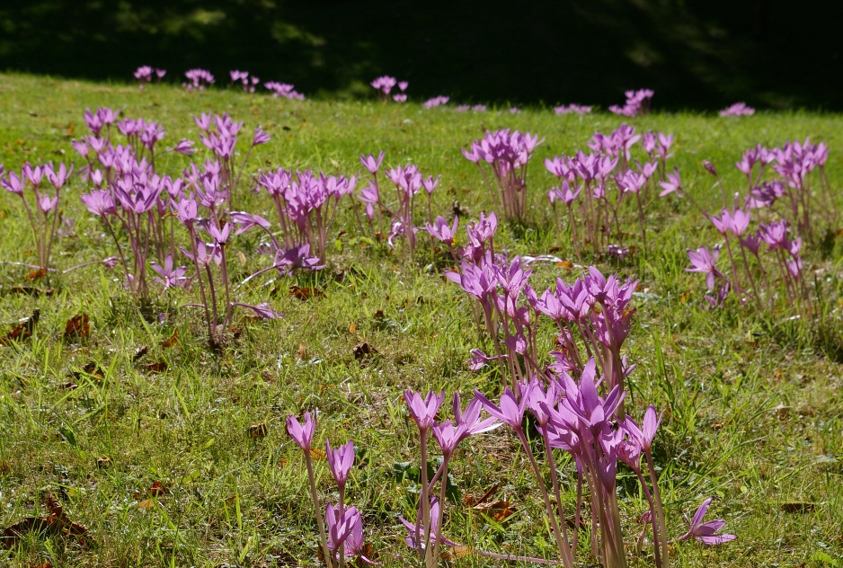 Colchicums to plant in your garden - Gardens Illustrated