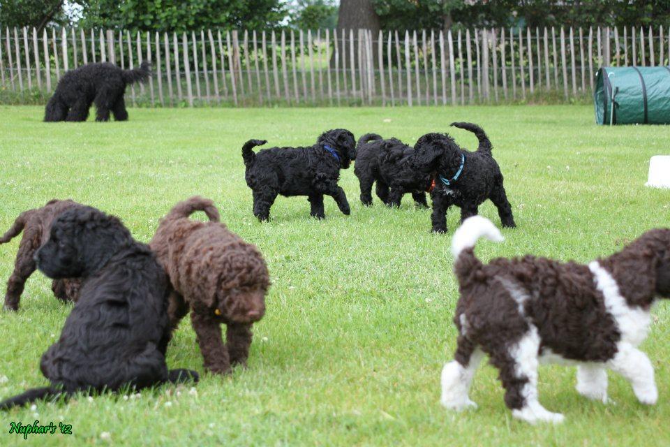 Hickory Tavern Farm Barbet Barbet Puppies At The Park