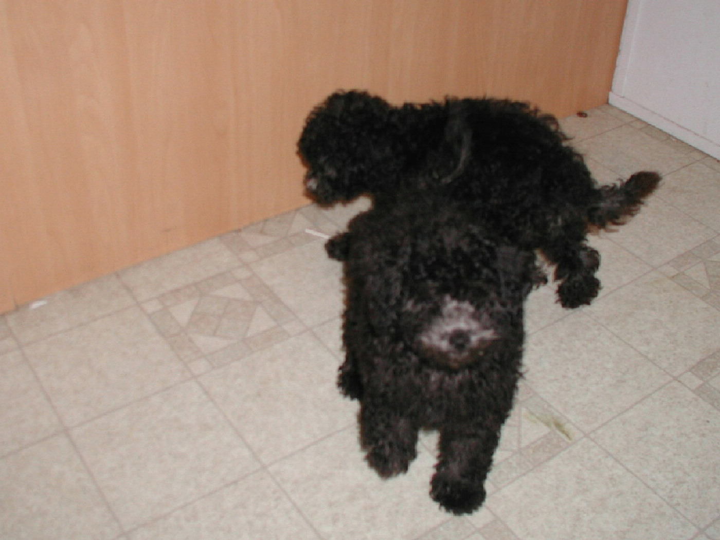 black standard poodle puppy - photo #25
