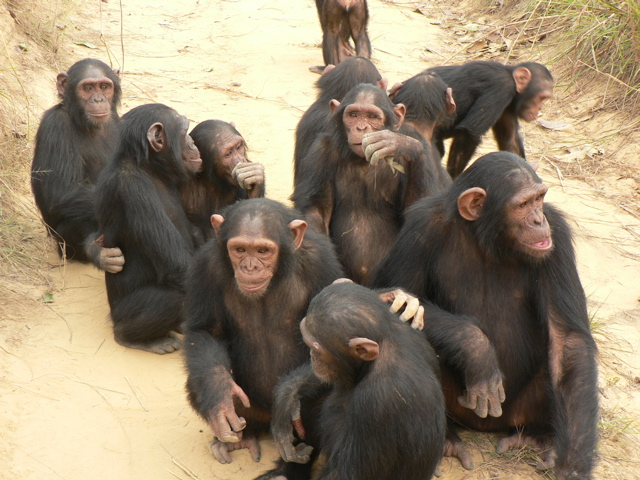 Amazing african animals endangered african chimps with little babbies