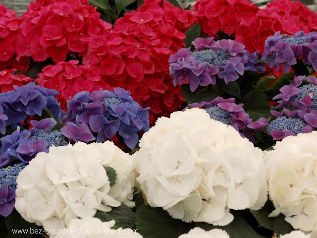 niebieskie hortensje ogrodowe