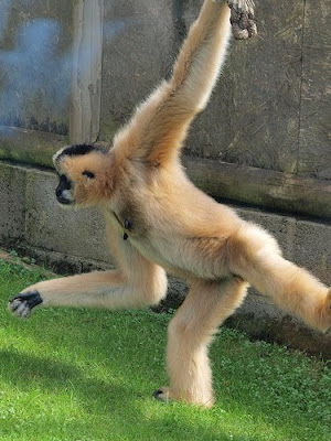 White Gibbon - foot on ground hand on rope