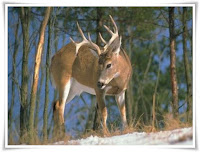 Deer Animal Pictures