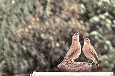 pássaros fazendo ninho