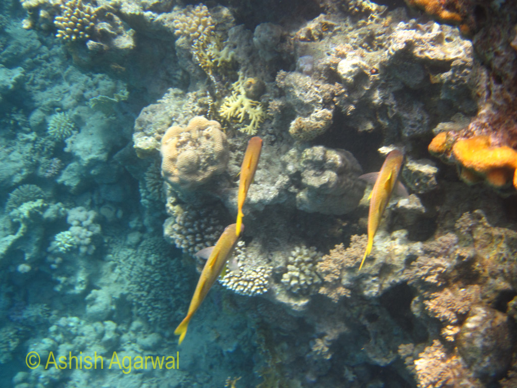 Yellow colored fish nibbling at the coral in the Ras Muhammad marine park in the Red Sea in Egypt