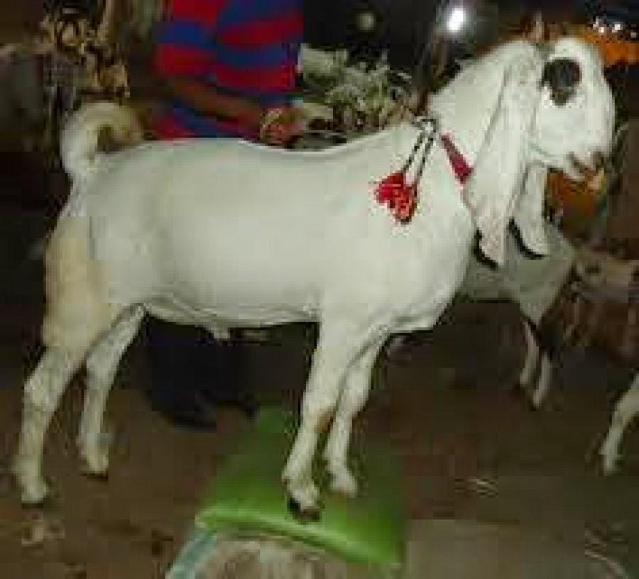 Bakra Eid 2013,Camel Qurbani,Eid Al Adha Mubarak,Cow ...
