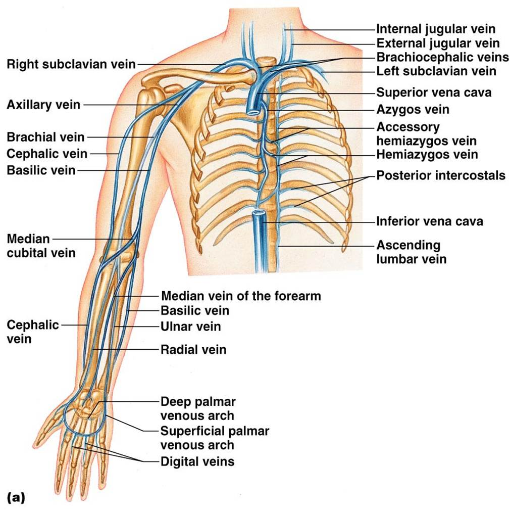 Anatomy of veins in arm
