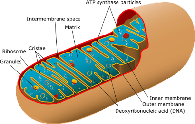 diagram of mitochondrion: mitochondrial DNA, matrix, cristae, inner and outer membrane, ATP synthase