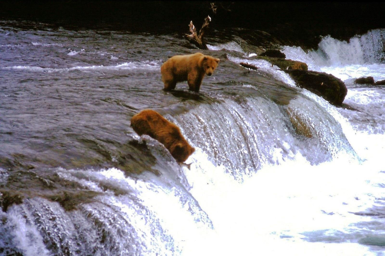 ours pêche saumon