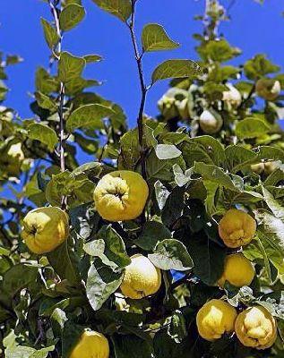 Orto per tutti piante da frutto for Terreni piantati a meli