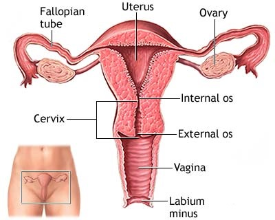 Uterus Female Reproductive System Genetic Engineering Info