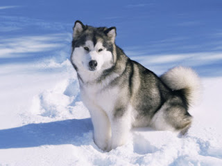 Alaskan Malamute Wallpaper