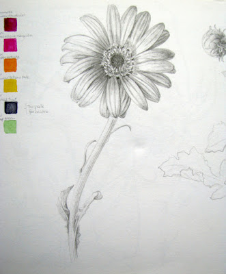 Sketchbook study chrysanthemum flower in graphite with colour notes, Shevaun Doherty