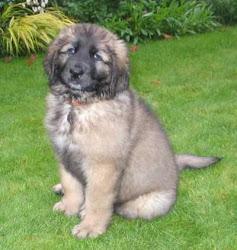 cute Leonberger puppy.
