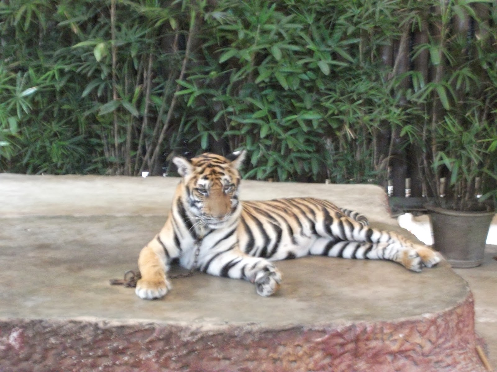 Tiger cub at Nooch Tropical Garden