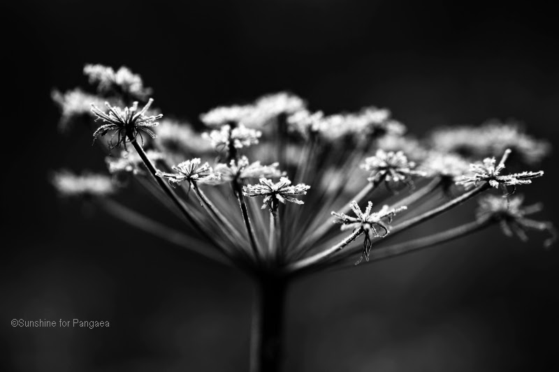 Black and white photo of old flower seed on a frosty morning.