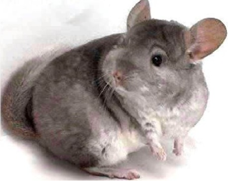 Chinchilla care - photo#13