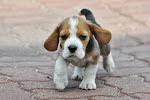 Szczenięta beagle 2016