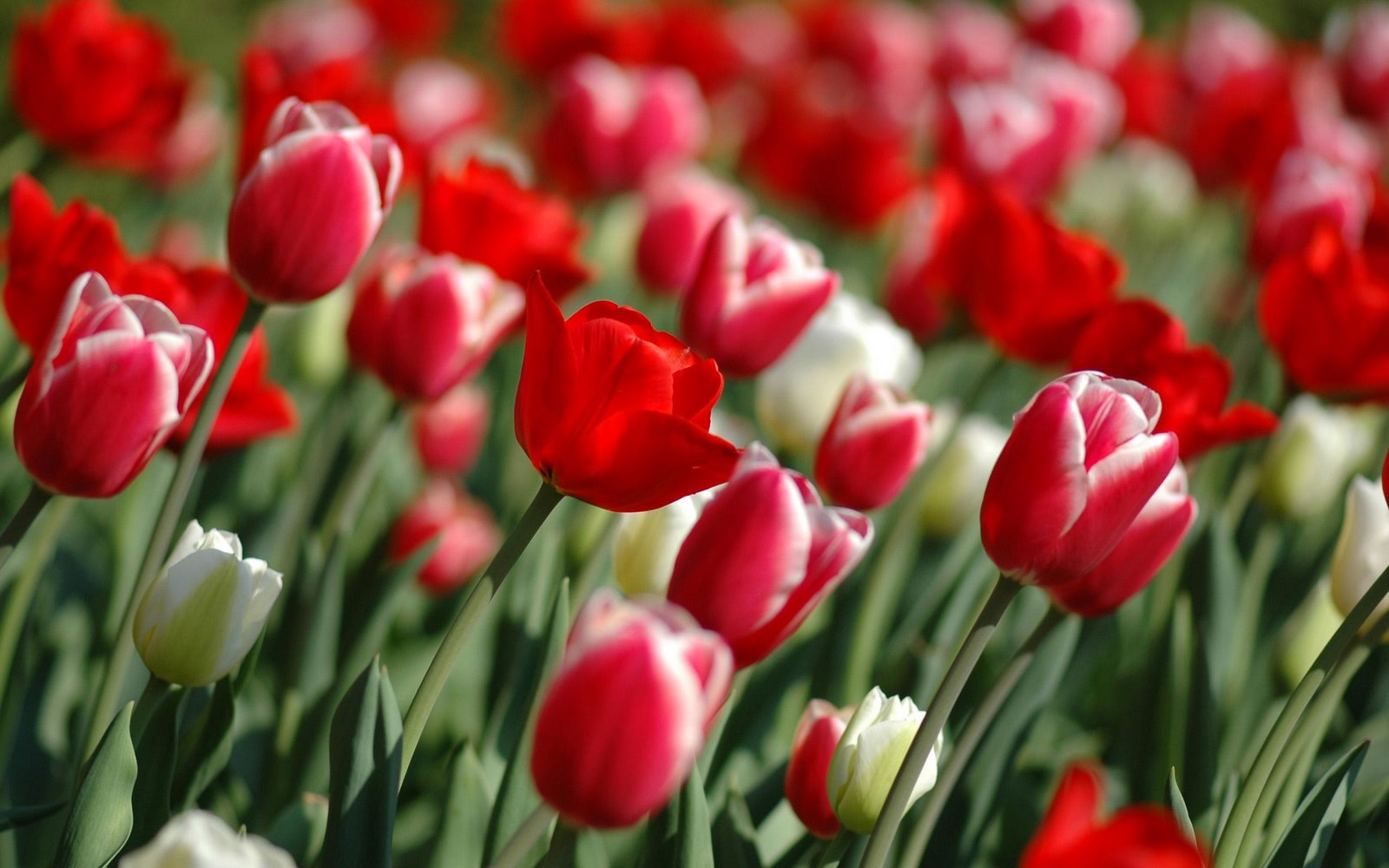 Flowers Wallpapers Tulips Flowers Wallpapers