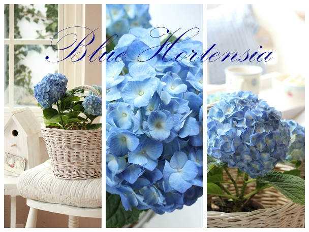 Blue Hortensia