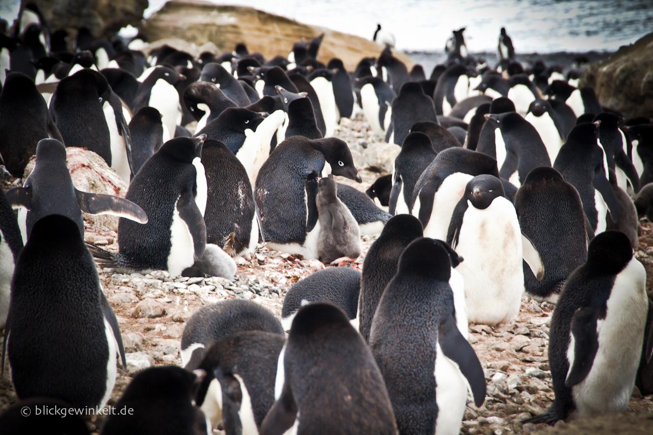 Adelie Pinguine Antarktis