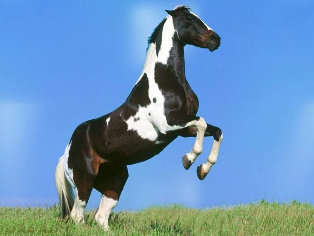 pinto black singles A pinto horse has a coat color that consists any pinto pattern on a black base tobiano is a simple dominant trait caused by a single gene and therefore all.