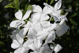white plumbago