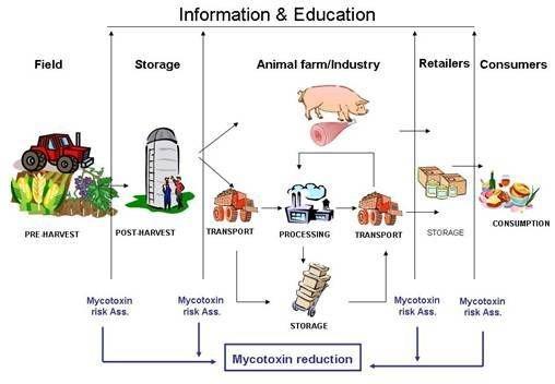 Nguồn gốc mycotoxin trong nghành công nghiệp chăn nuôi.