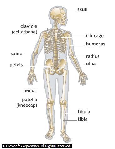 Printables Human Skeleton Worksheet Grade4 skeletal system for grade 3 scalien 3