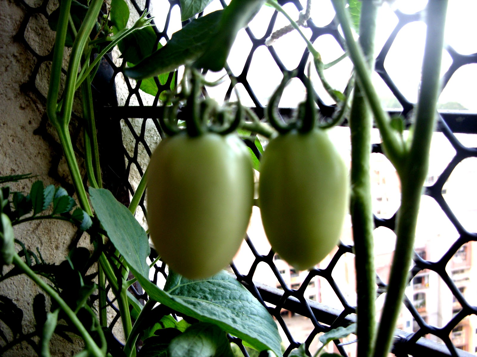 Veggies in windowsill for Terrace kitchen priyanka