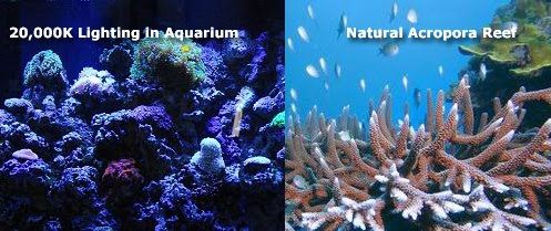 Reef Lighting Comparison with 200000K Light and natural acropora reef, PUR vs PAR in Aquarium