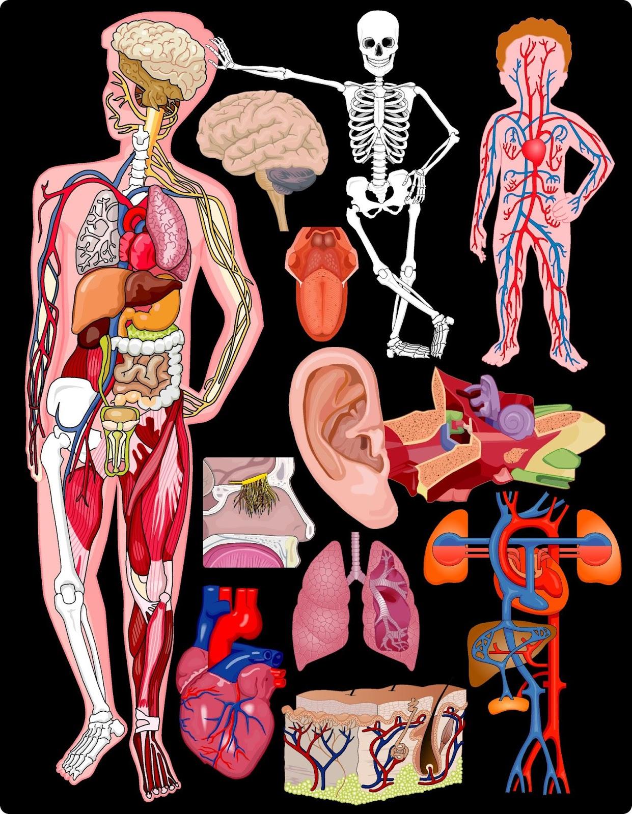 El cuerpo humano (pero el interior) | Ilustraciones para compartir