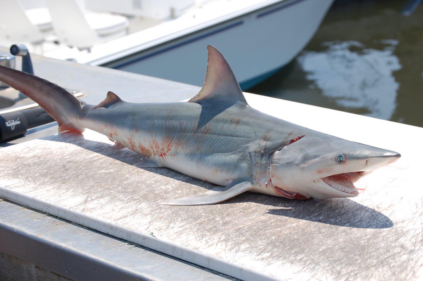 Life of Atlantic Sharpnose Shark | Life of Sea
