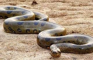 ular , ular , besar , dunia