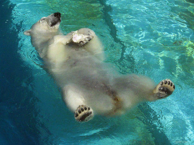 funny animal pictures, polar bear sleeps on water