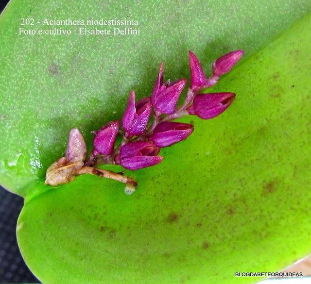 Acianthera
