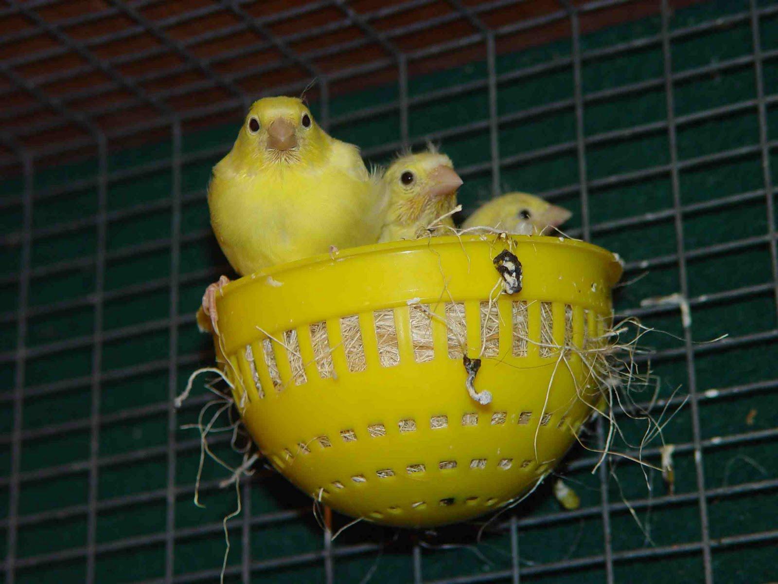 foto burung kenari f1 - gambar binatang