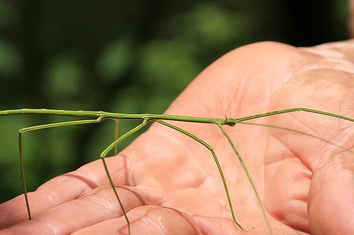 Insecto palo en mano