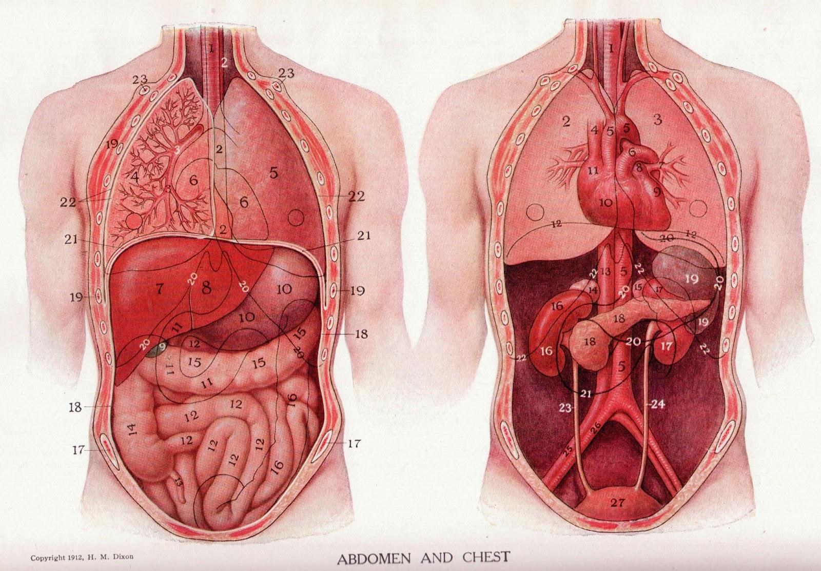 abdomen ~ el cuerpo humano y sus partes explicado y dibujos