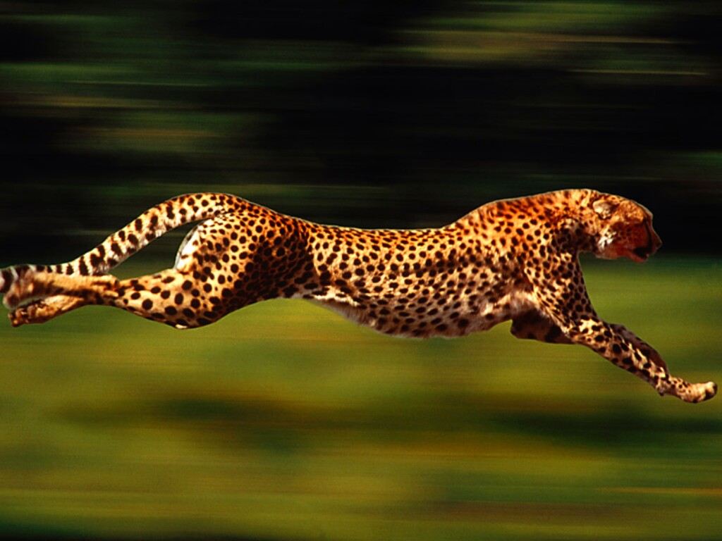 Cheetah Wallpapers Animals Library