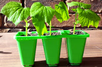 Bitter Gourd (Karela) Seedlings in a Prunnet