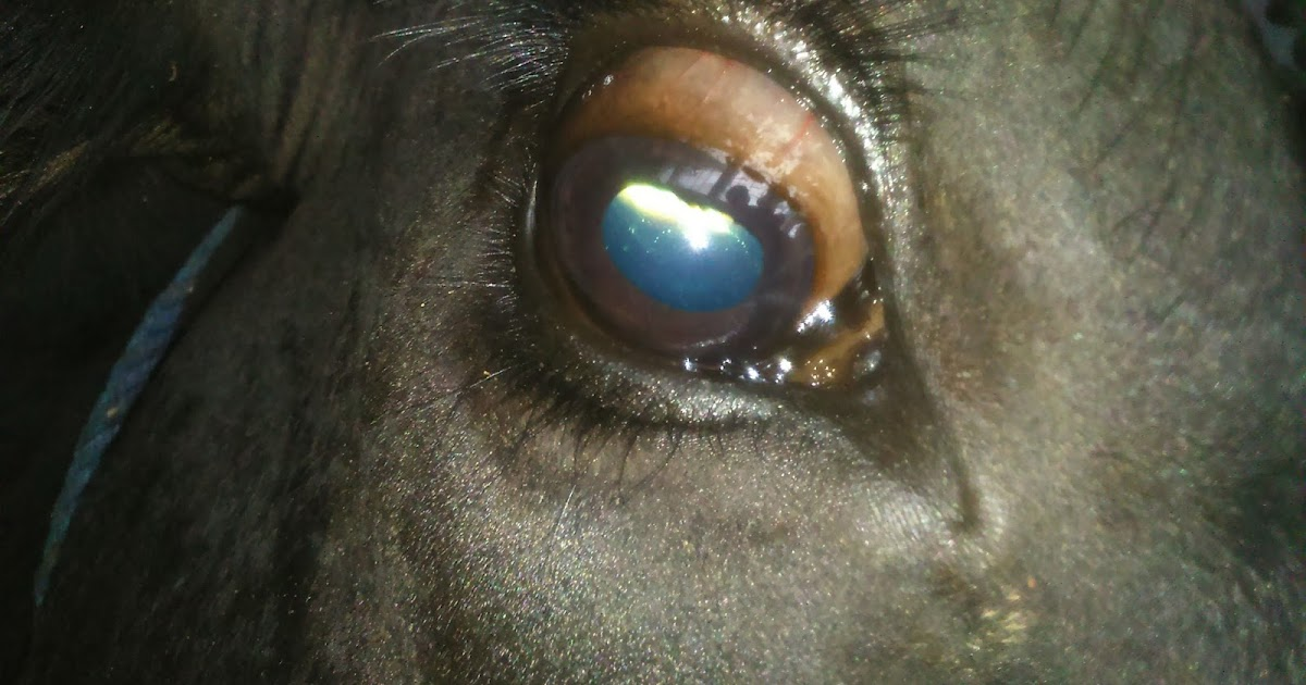 experiment to treat theileria in cows In countries such as south africa, where cattle-associated theileria parva (or  classical east  corridor disease responds to treatment with buparvaquone and   the animals are thereafter resistant to challenge, both experimental and natural ,.
